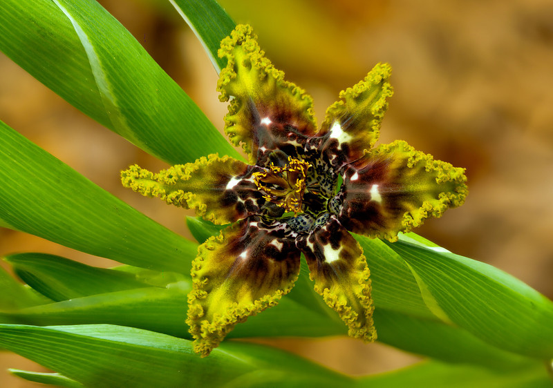 Ferraria crispa Burm (also known as The Starfish Lily)<br /> <br /> Wide spread in coastal, found on sandstone or granite rocks - have an unpleasant odor, and is pollinated by flies and/or wasps.