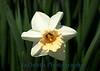 1628 - Daffodil Flower