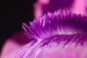 Macro view of a bearded iris