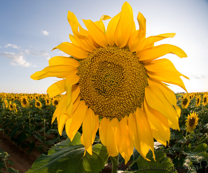 August 28, 2008 - another sunflower ?!<br /> <br /> It's been busy and I didn't have time to even shoot anything yesterday..well,how many times will I run into a sunflower field really :) ?!