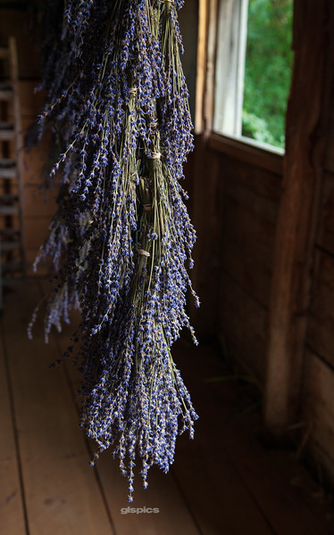 Lavender Drying in a Barn