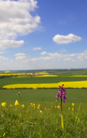 Orchis mascula Early Purple Orchid on chalk downland with agricultural oilseed rape in distance Wiltshire UK May