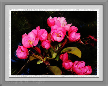 Hot Pink Apple Blossoms