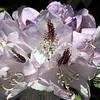 Rhododendron flower,