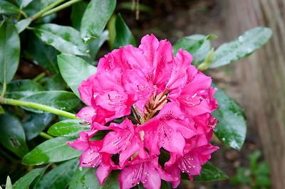 Dark Pink Rhodos May '09