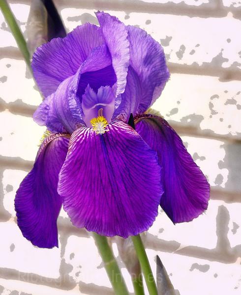 Arty Iris