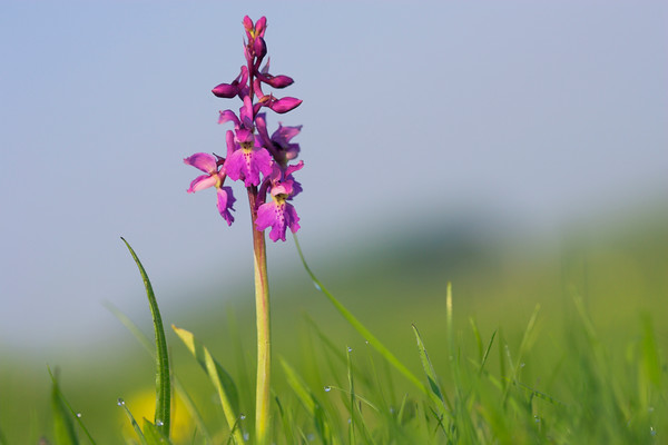Orchis mascula Early Purple Orchid Wiltshire UK May