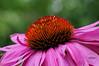 Echinacea purpurea aka purple coneflower