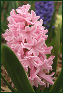 F-V-0168 Heavenly Hyacinth