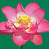 Nelumbo nucifera. Lotus flower.