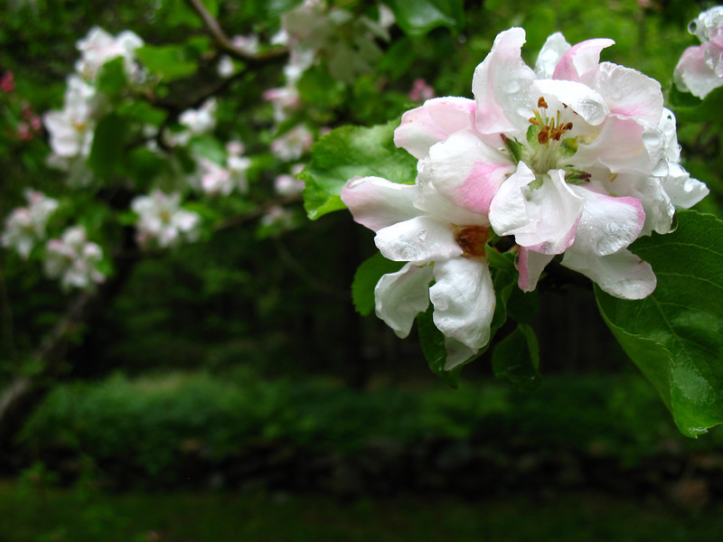one of my best photos, apple trees in bloom