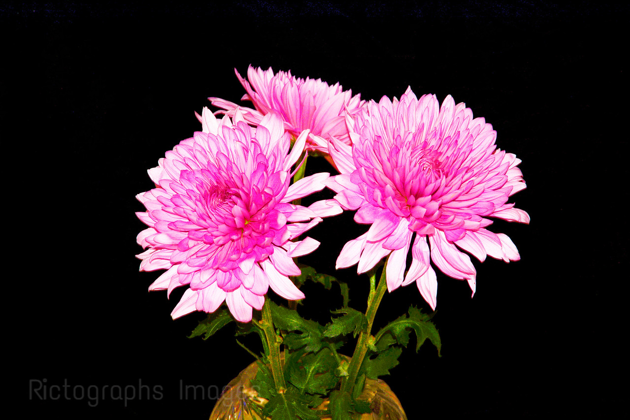 Pink Fowers In A Vase, Rictographs Images