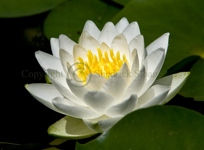 070692 Waterlily