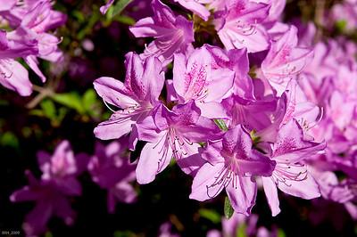 Pink Azaleas May '09