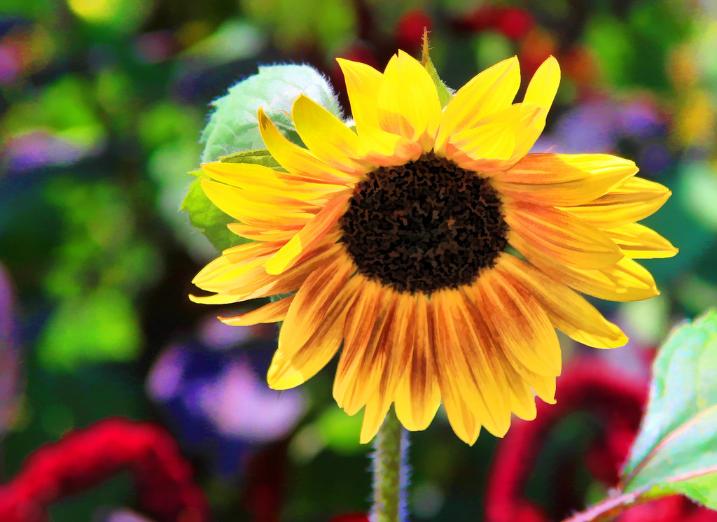 sunflower enhanced