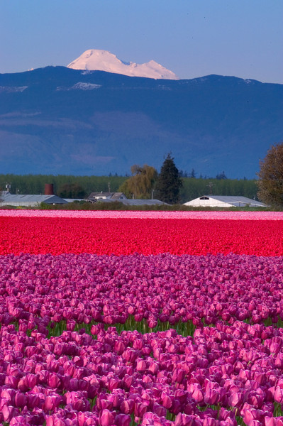 Tulip fields with Mt. Baker in the backrgound