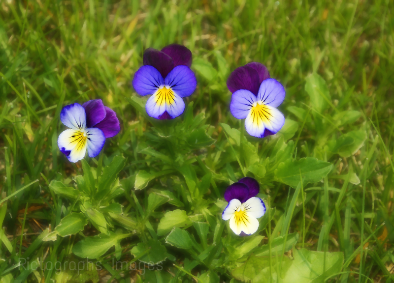 Violas Are Not Weeds
