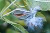 Milk Weed Seed Pod