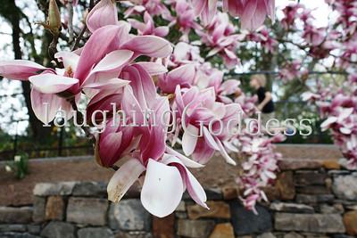 Title: Magnolia climbed the wall.  Summit, NJ