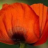 Poppy<br /> (From my flower garden & grown from seed, I've waited 2 years for them to bloom)