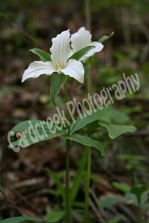 Trillium Grandiflorum<br /> Commonly known as the Large White Trillium,Great White Trillium,<br /> Wake Robin, Snow Trillium, White Trillium.<br /> Trilliums are usually distinguished by three-petaled flowers,usually in pairs.<br /> Family: Lily (Liliaceae)<br /> Habitat: rich woods<br /> Height: 12-18 inches<br />  Flower size: 2-4 inches across<br />  Flower color: white, turning pink with age<br />  Flowering time: April to June<br /> Origin: native to Pennsylvania