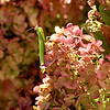 A grasshopper clings to the petals in the late morning sun trying to blend into his surroundings on the Peegee Hydrangea  and not being very successful.