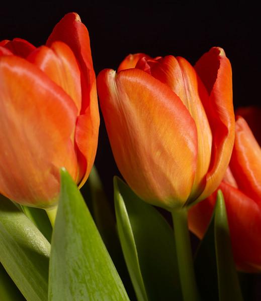 Orange Tulip #5
