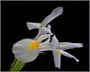 Pale Blue Iris