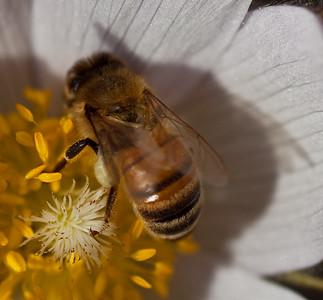 Bee, Saskatoon, Wild, Prairie Crocus, 09 Saskatchewan