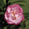 Camellia sasanqua 'Paradise Baby Jane'<br /> Royal Botanic Gardens, Sydney.<br /> NSW. Australia.