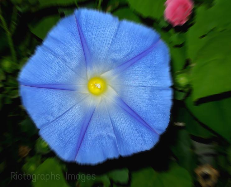 Morning Glory Flower; Sky Blue