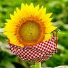 The Sunflower Field in Autaugaville, Alabama
