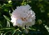 2217 - Peony Flower
