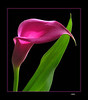 Calla Lily    ltbrgt          IMG_2397w (28014281)