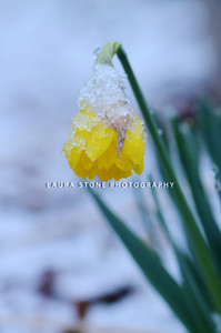 A hardy daffodil emerges under a layer of snow and ice