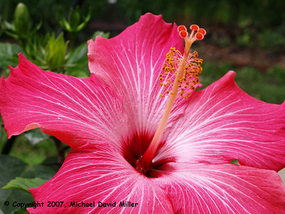 Giant Hibiscus, Oly E330, ZD35mm