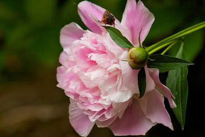 Side view of my peonies with a red eyed cicada looking at me!