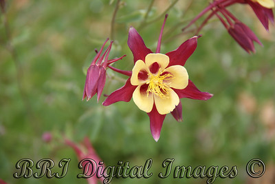 Red And Yellow Columbine