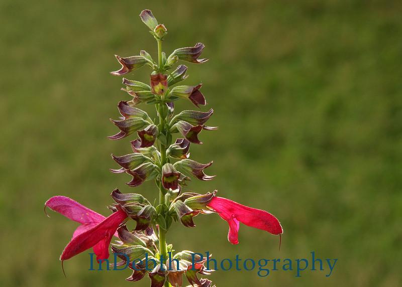 2661 - Penstemon Flower