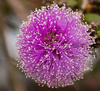 Purple round flower 3702cf DEx-flowr proc all