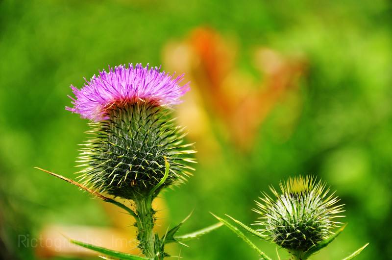 Thistle Flower; Ric Evoy; Rictographs Images