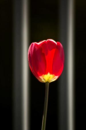Red Tulip Framed