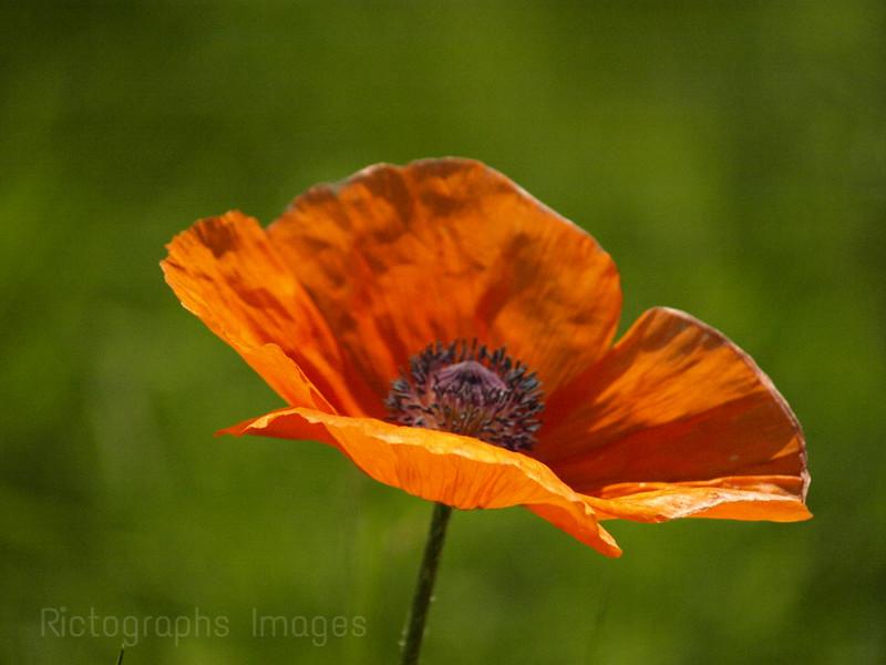 Orange Red Poppy