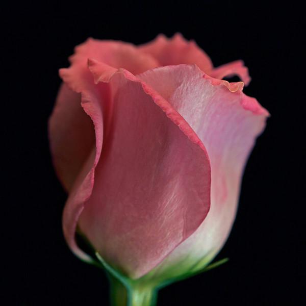 """<font color=""""#e9efb7"""">Dark Pink Lisianthus"""