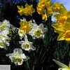 Daffodils - 89