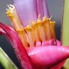 Musa velutina flower - Pink Banana.