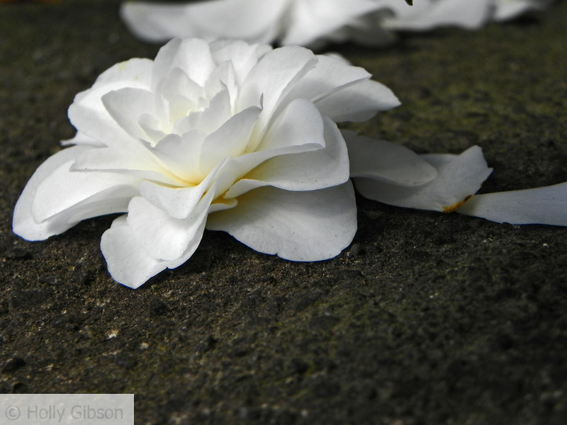 White camellia bloom - 93