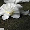 White camellia bloom - 93
