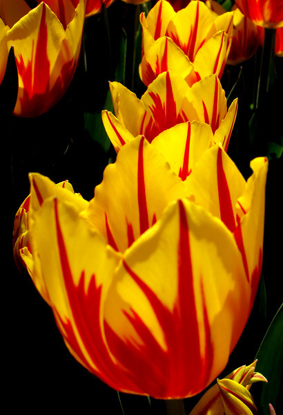 Lined up in a row in the bright sunshine, these yellow and red tulips vividly depict the sharp changes in color.