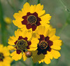 We saw several fields of these Plains Coreopsis flowers.  This is a close-up showing what they look like.  The shoulders of the road from Abilene to Austin was covered almost continuously by these flowers.